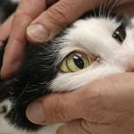 билирубин у кошки в моче
