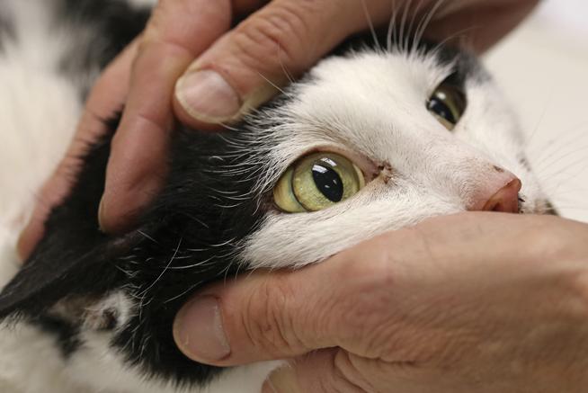 билирубин к кошки в моче