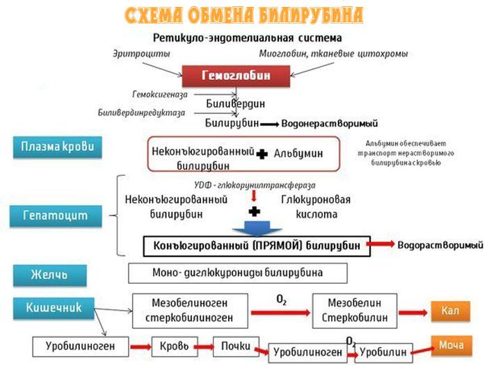 обмен биоирубина в норме