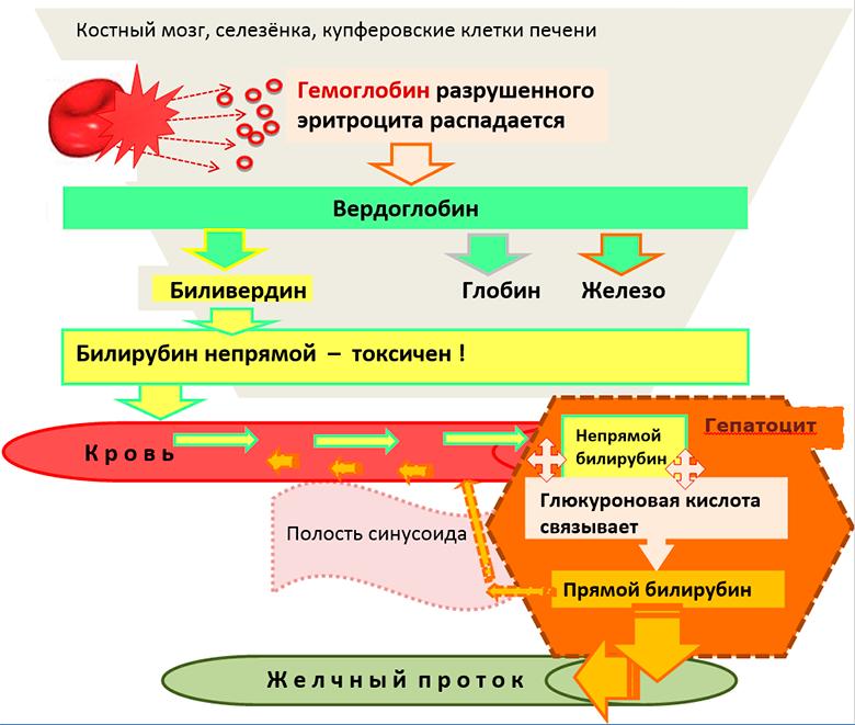 прямой и непрямой билирубин