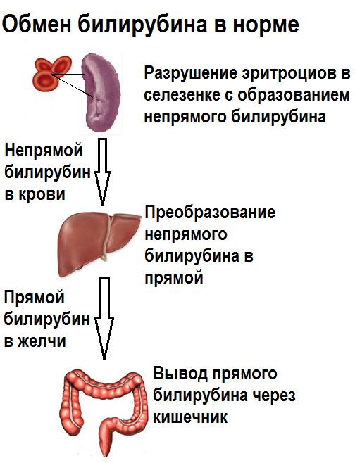 обмен билирубина в норме