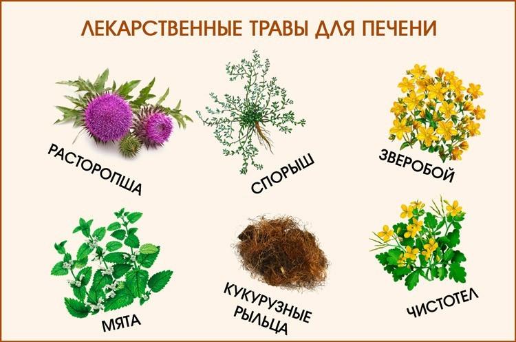 лекарственные травы для печени