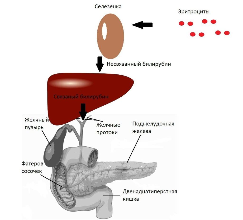 обмен билирубина в организме