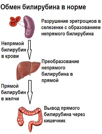 обмен билирубина в норме-1